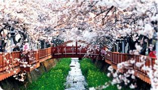 韩国鎮海樱花應該這樣慢慢看