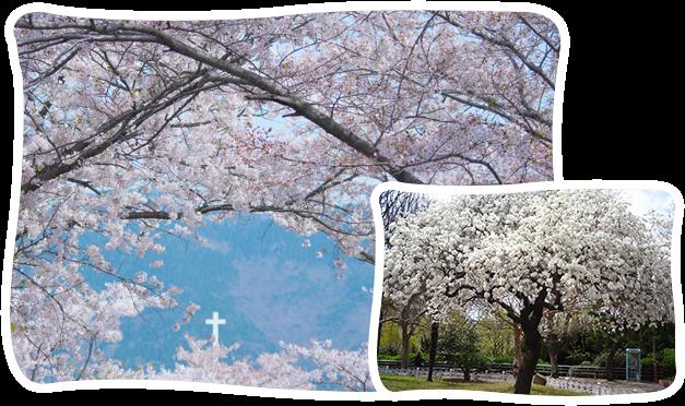 釜山經典賞櫻一日遊